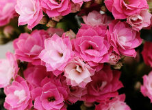 Kalanchoe flower blossoms Stock Photos