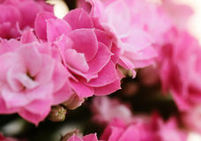 Kalanchoe flower blossoms Royalty Free Stock Images