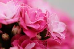Kalanchoe flower blossoms Stock Images