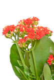 Kalanchoe flower, close up view Stock Image