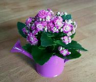 Kalanchoe flower. In cute violet watering can Stock Photo