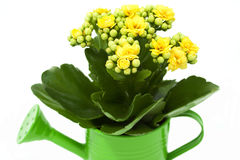 Kalanchoe flower in a green watering can. Yellow Kalanchoe flower in a green watering can Stock Photos