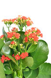 Kalanchoe flower Stock Photos