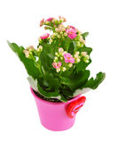 Kalanchoe flower in pot . Kalanchoe flower in the colorful flower pot Royalty Free Stock Photography