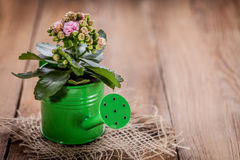 Kalanchoe flower in a water-pot Stock Images