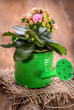 Kalanchoe flower in a water-pot Royalty Free Stock Image