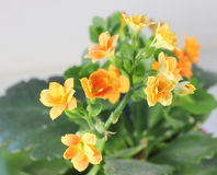Kalanchoe Royalty Free Stock Photos