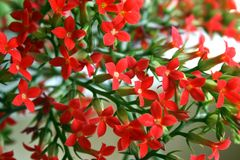 Kalanchoe flowers. Blooming of red kalanchoe flowers Royalty Free Stock Photo