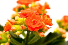 Kalanchoe flowers Royalty Free Stock Photography