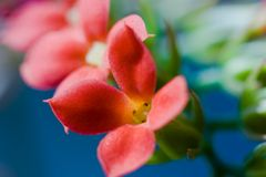 Kalanchoe flowers Stock Photo