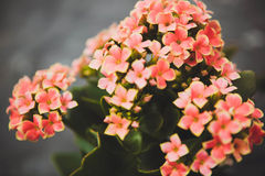 Kalanchoe flowers Royalty Free Stock Image