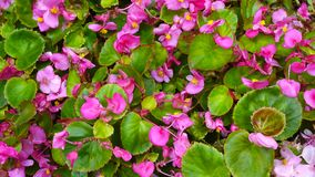 Kalanchoe flowers at city park in Busan, South Korea stock footage