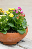 Kalanchoe Flowers. Royalty Free Stock Image