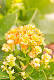 Kalanchoe Flowers. Royalty Free Stock Photography