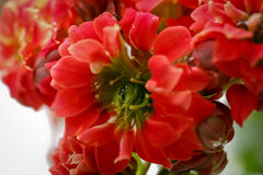 Kalanchoe flowers Royalty Free Stock Photos