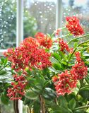 Kalanchoe in front of window pane Royalty Free Stock Images
