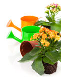 Kalanchoe home flower in a flower pot. Royalty Free Stock Photography