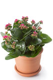 Kalanchoe house plant Stock Images