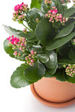 Kalanchoe house plant. In flower pot, close up royalty free stock image