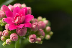 Kalanchoe house plant Stock Photos