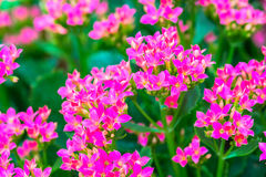 Kalanchoe house plant, close up Royalty Free Stock Photography