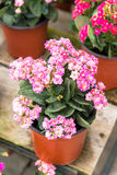 Kalanchoe house plant, close up Royalty Free Stock Photo