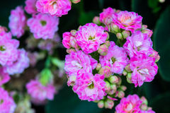 Kalanchoe house plant, close up Stock Image