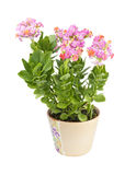 Kalanchoe isolated on white background Royalty Free Stock Image