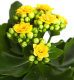 Kalanchoe Royalty Free Stock Photography