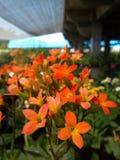 Kalanchoe kwiat Obraz Stock