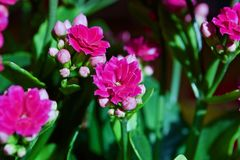 Kalanchoe kwiat Zdjęcia Royalty Free