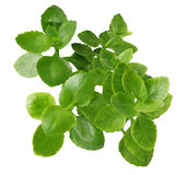 Kalanchoe leaves royalty free stock photography