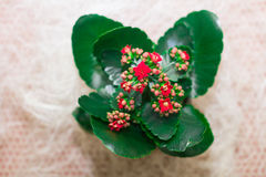Kalanchoe  on a light background Royalty Free Stock Photography