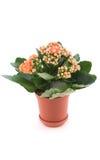 Kalanchoe met rode bloem in pot stock foto