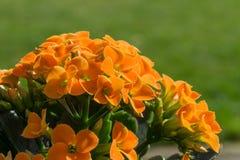 Kalanchoe orange en pleine floraison Photographie stock libre de droits