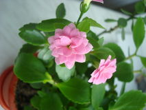 Kalanchoe. Pale pink Kalanchoe in a pot Royalty Free Stock Image