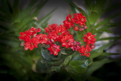 Kalanchoe. Photo of plant in the garden Royalty Free Stock Photography