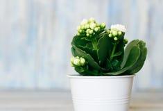 Kalanchoe. Photo of white kalanchoe flower Stock Image