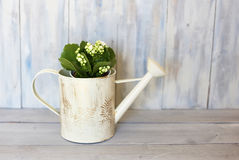 Kalanchoe. Photo of white kalanchoe flower and watering can Royalty Free Stock Photography