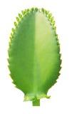 Kalanchoe pinnata leaf. Isolated on white Stock Image