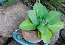 Kalanchoe-pinnata oder Crassulaceae oder Bryophyllum-daigremontiana, Mutter von Tausenden, Anlagen mit Blättern viel Inzucht stockfotografie