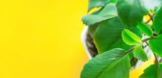 Kalanchoe Pinnata w Białym garnku na Jaskrawym Żółtym tle sunlight świeża zieleń opuszczać wibrujący Wysoka Rozdzielczość Długi s fotografia royalty free