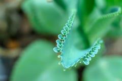 Kalanchoe pinnataLam Pers de lövrika sidorna är tjock och lövrik, med ett obetydligt grönt lövrikt utseende Du kan utvidga arkivbild