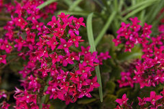 Kalanchoe plants in full flower Stock Photo