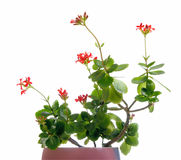 Kalanchoe in a pot Stock Photos