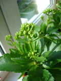 Kalanchoe. In the pot. It is getting ready to blossom Royalty Free Stock Image