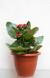 Kalanchoe in pot Stock Image