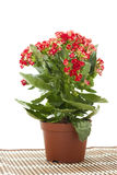 Kalanchoe   in pot on white background Stock Image