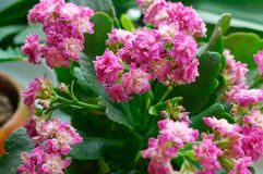 Kalanchoe, potted flower Kalanchoe, potted plant with small pink flowers and thick leaves stock images
