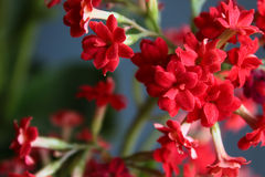 Kalanchoe red Stock Photography